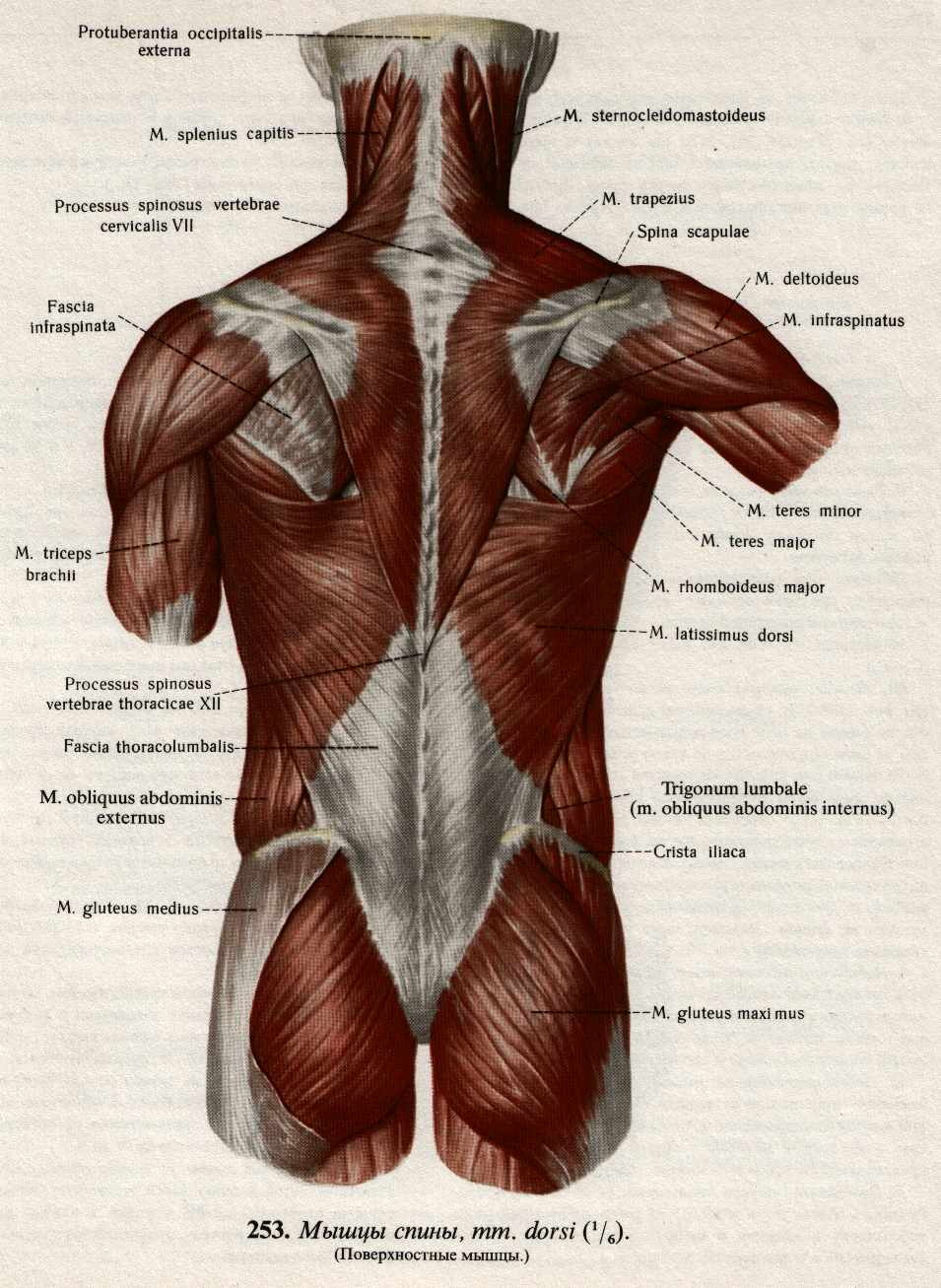 Мышцы постуральные фото
